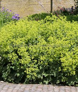 ALCHEMILLA (LADY'S MANTLE) MOLLIS I (25 P.BAG)