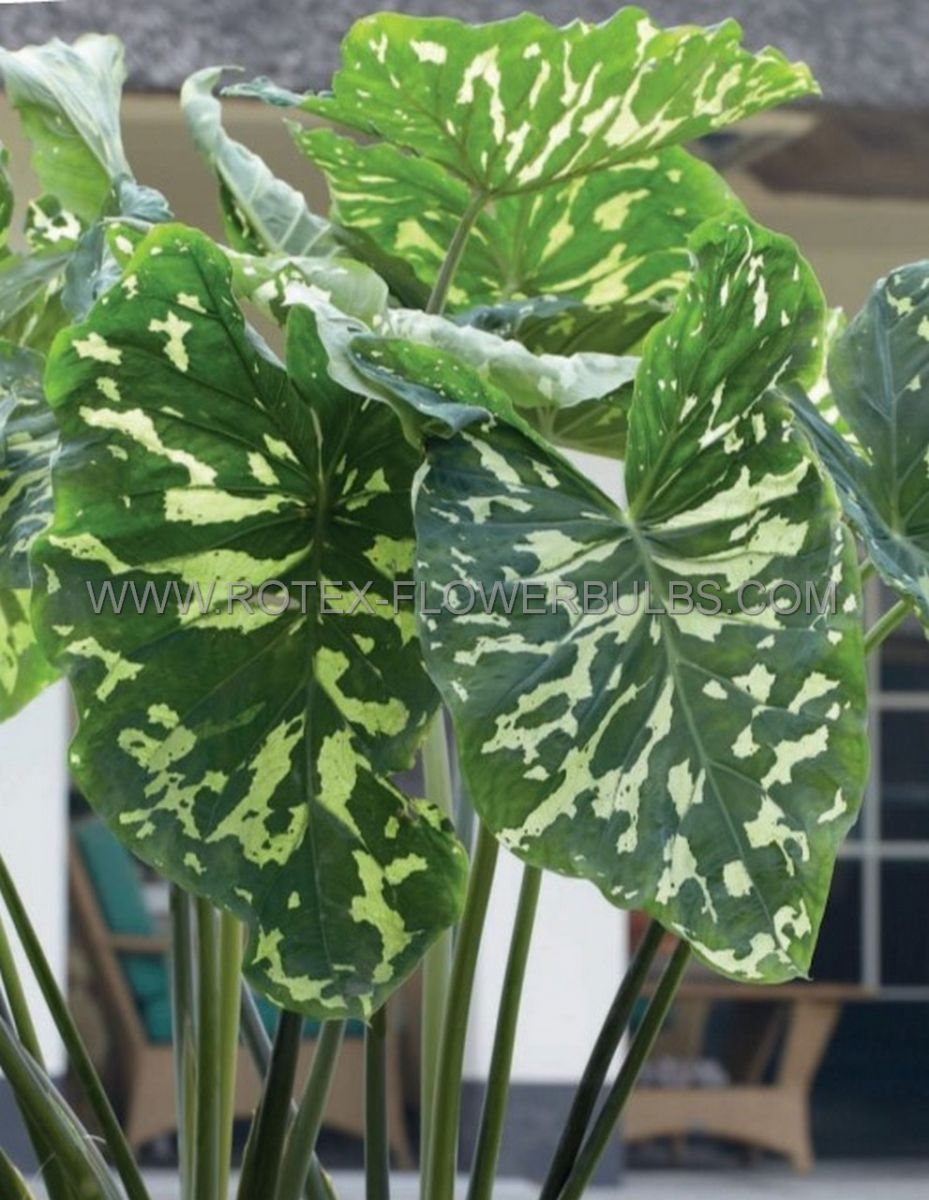 alocasia elephant ear hilo beauty 57 100 pcarton