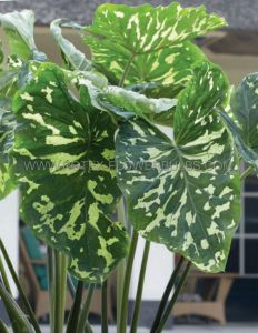 "ALOCASIA (ELEPHANT EAR) 'HILO BEAUTY' 7""-9"" (100 P.CARTON)"
