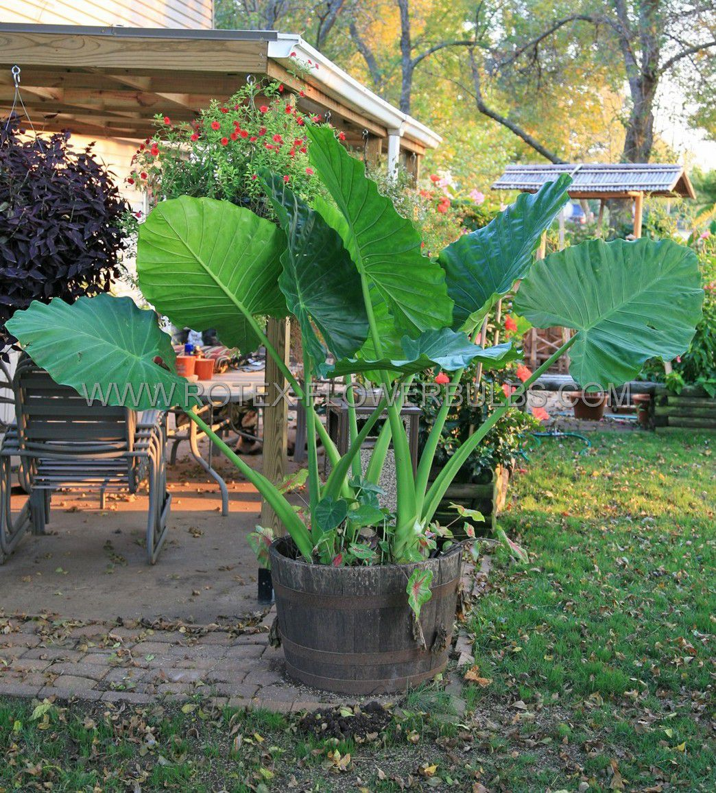alocasia odora elephant ear upright regular 1315 10 pcarton