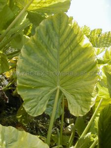 "ALOCASIA ODORA (ELEPHANT EAR UPRIGHT) 'REGULAR' 18""-UP (5 P.OPEN TOP BOX)"