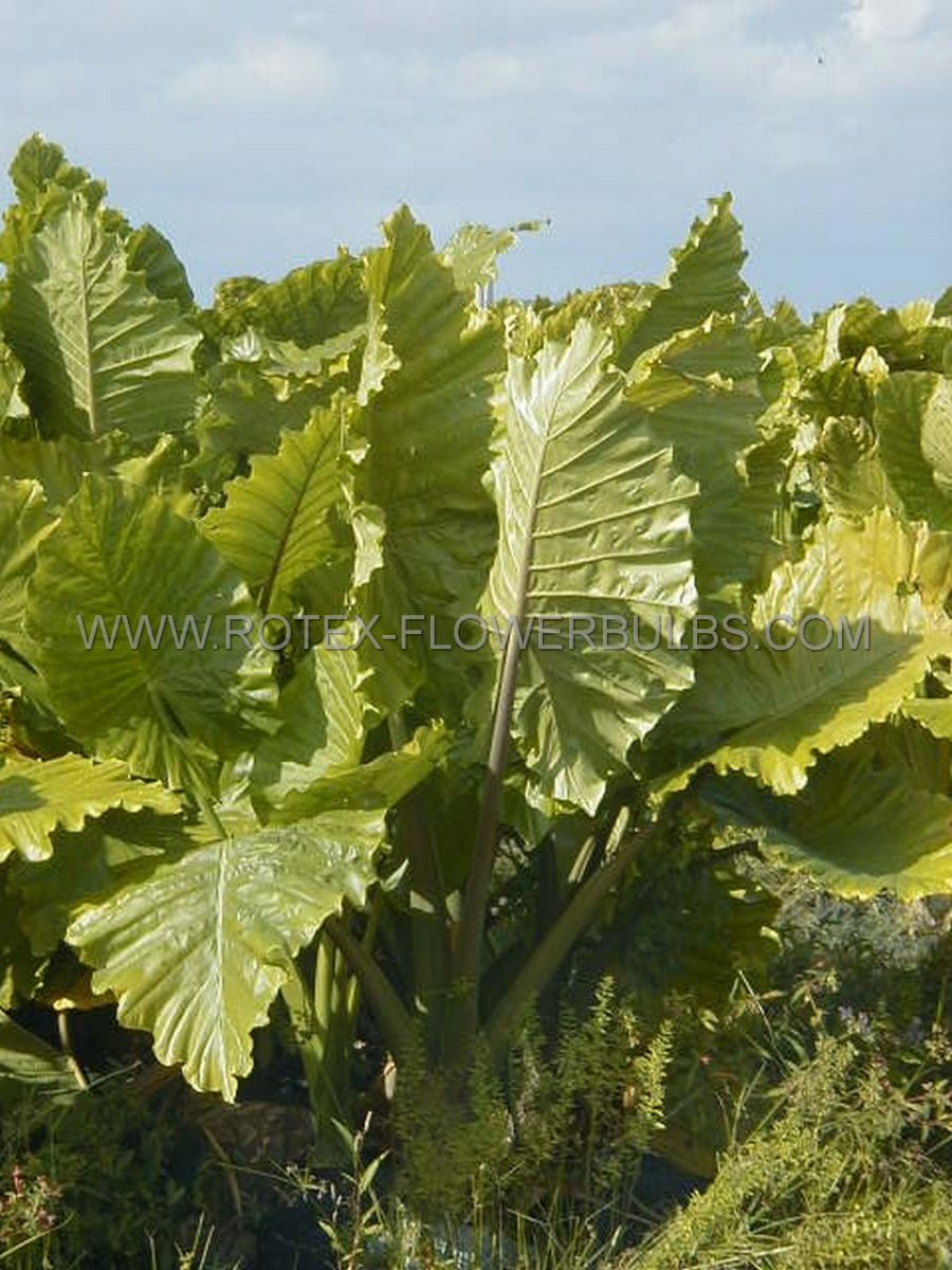 alocasia port odora elephant ear upright ruffled 1113 15 pcarton