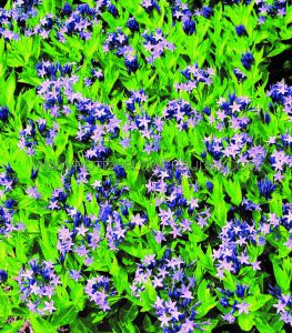AMSONIA (BLUE STAR) 'BLUE ICE' I (25 P.BAG)