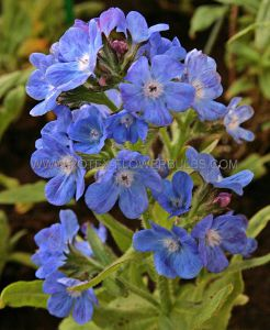 ANCHUSA (BUGLOSS) AZUREA 'LODDON ROYALIST' I (25 P.BAG)