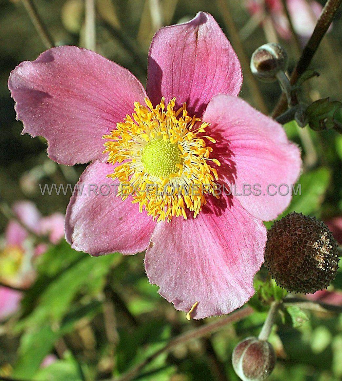 anemone windflower hupehensis september charm i 25 pbag