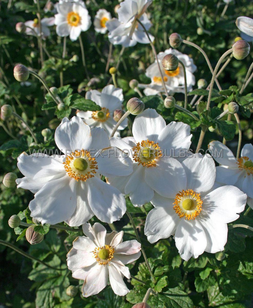 anemone windflower hybrida honorine jobert i 25 pbag