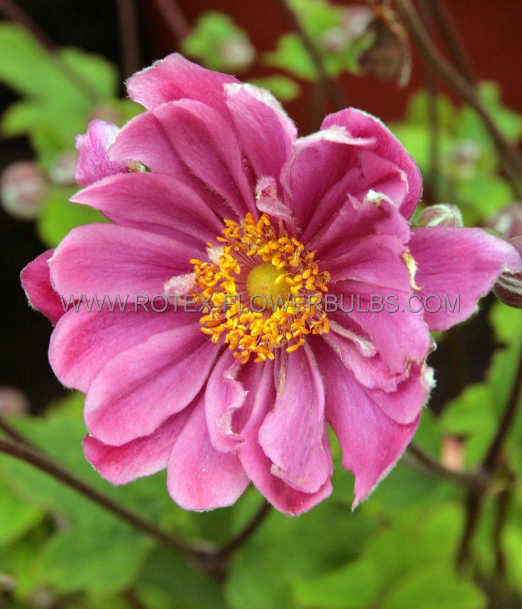 anemone windflower hybrida pamina i 25 pbag