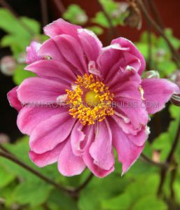ANEMONE (WINDFLOWER) HYBRIDA 'PAMINA' I (25 P.BAG)