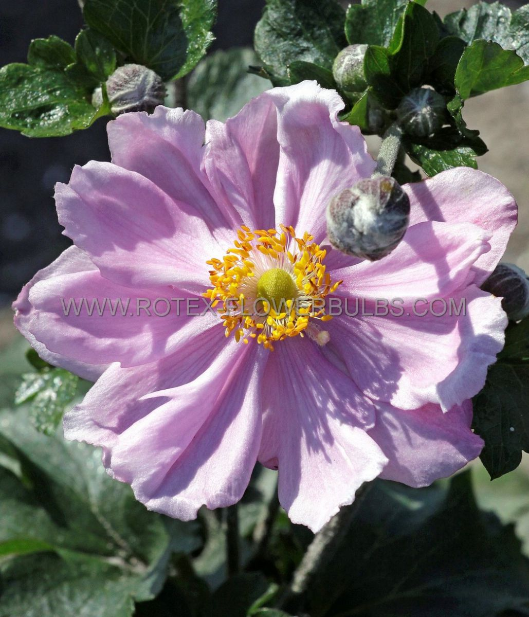 anemone windflower hybrida queen charlotte i 25 pbag