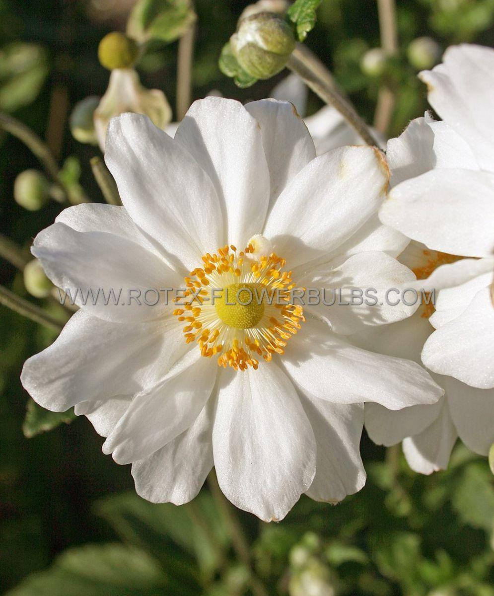 anemone windflower hybrida whirlwind i 25 pbag