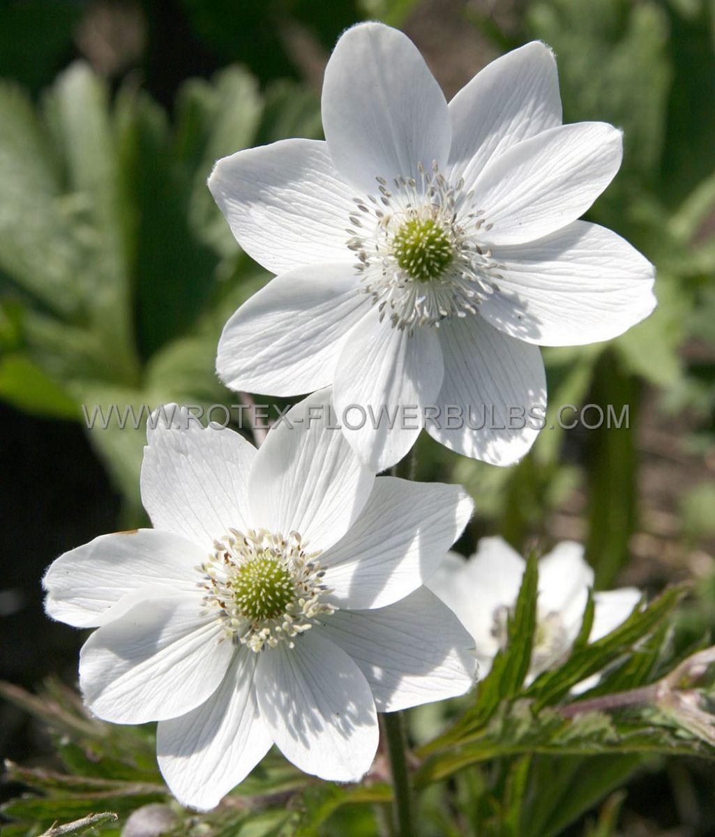 anemone windflower leveillei i 25 pbag