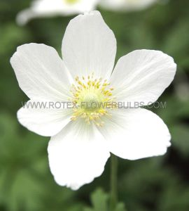 ANEMONE (WINDFLOWER) SYLVESTRIS I (25 P.BAG)