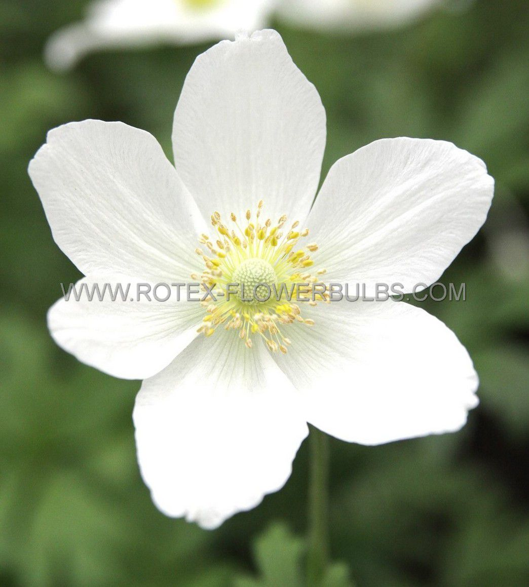 anemone windflower sylvestris i 25 pbag