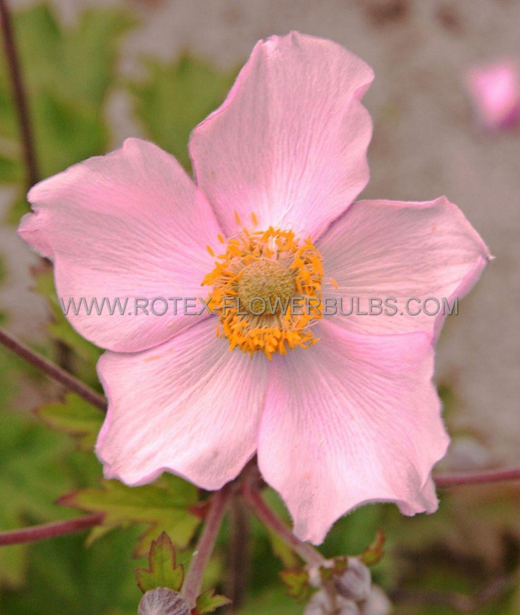 anemone windflower tomentosa robustissima i 25 pbag