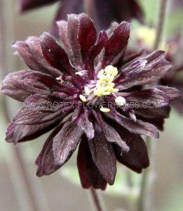 AQUILEGIA (COLUMBINE) VULGARIS 'BLACK BARLOW' I (25 P.BAG)