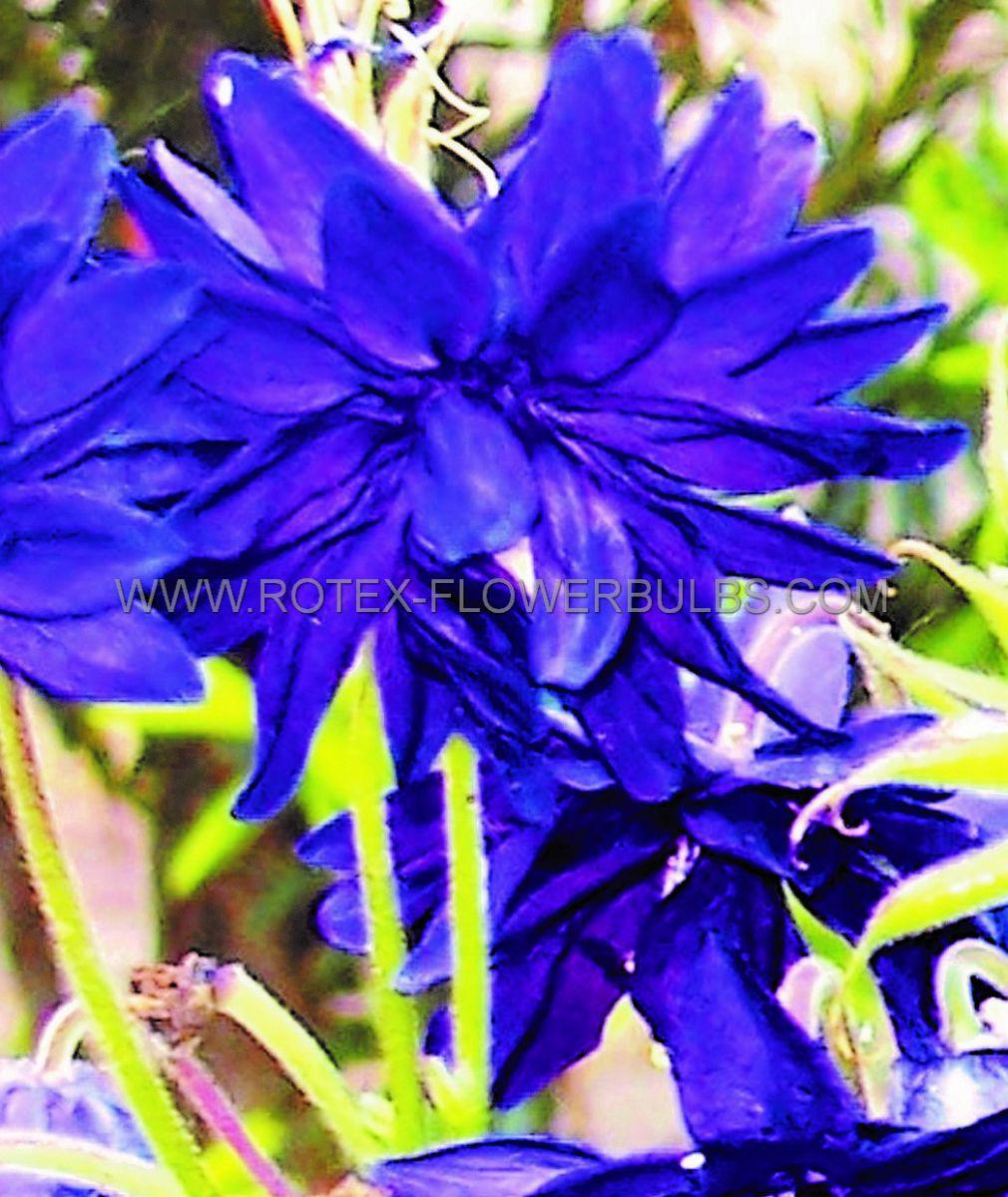 aquilegia columbine vulgaris blue barlow i 25 pbag