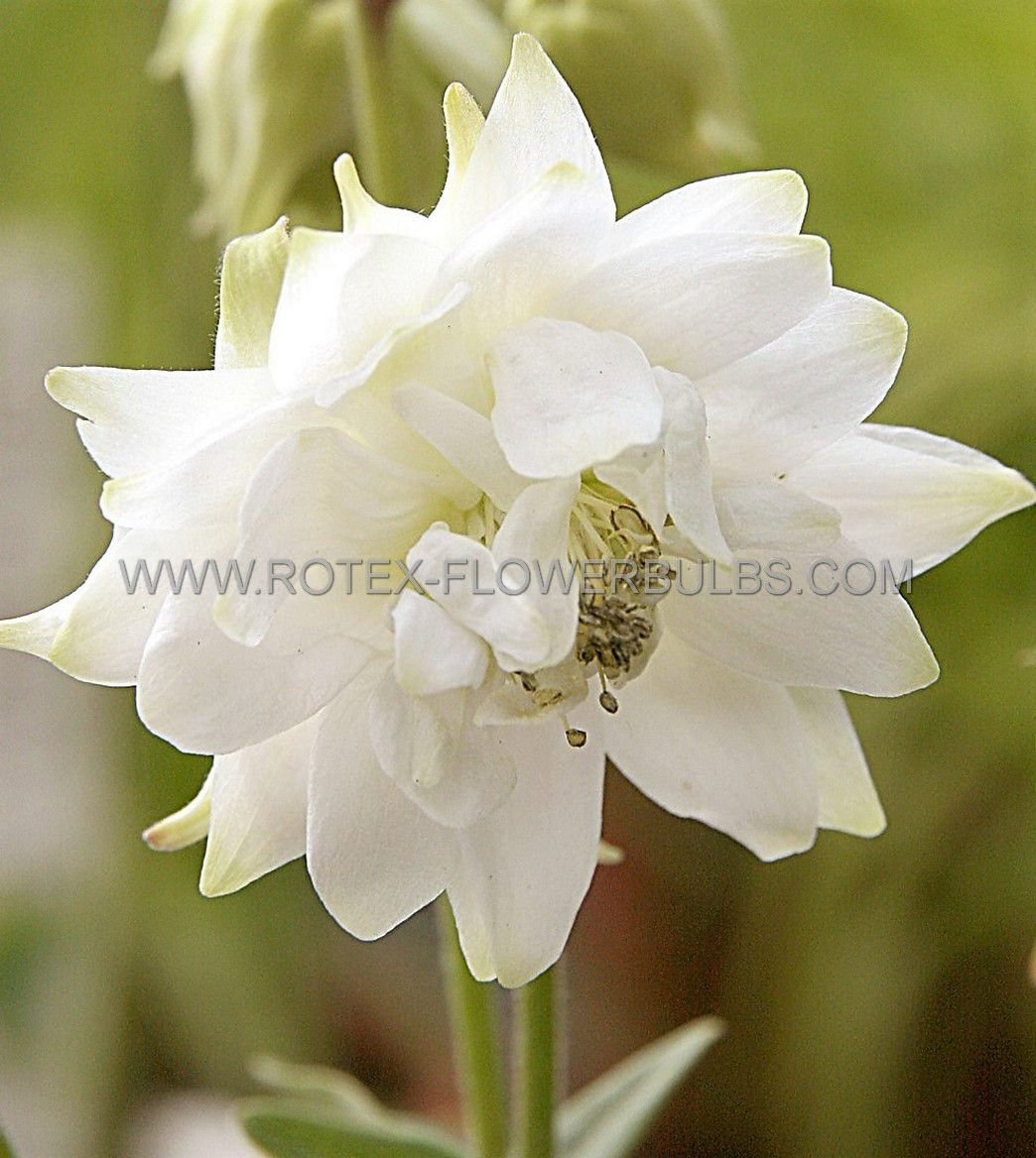 aquilegia columbine vulgaris white barlow i 25 pbag