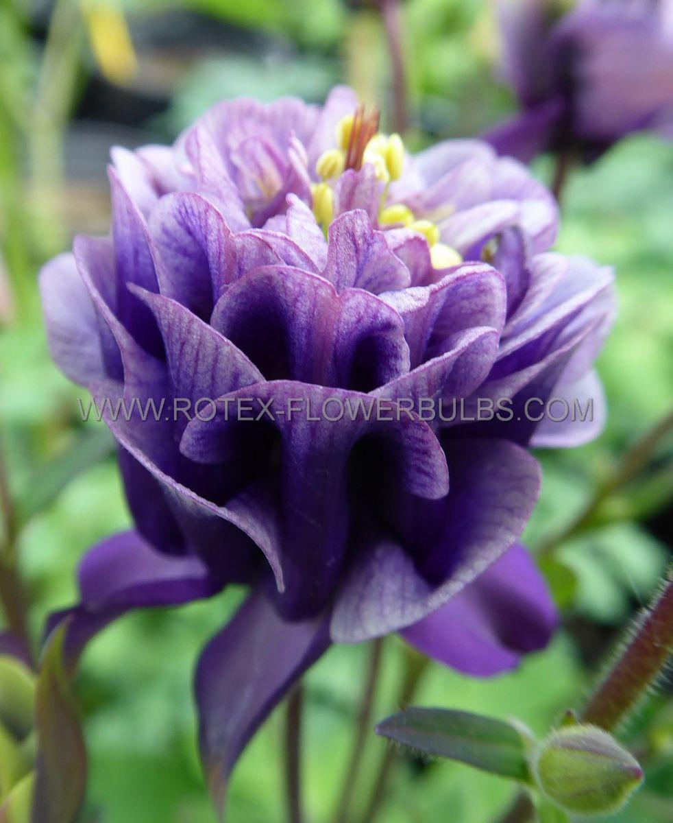 aquilegia columbine vulgaris winky double blue i 25 pbag