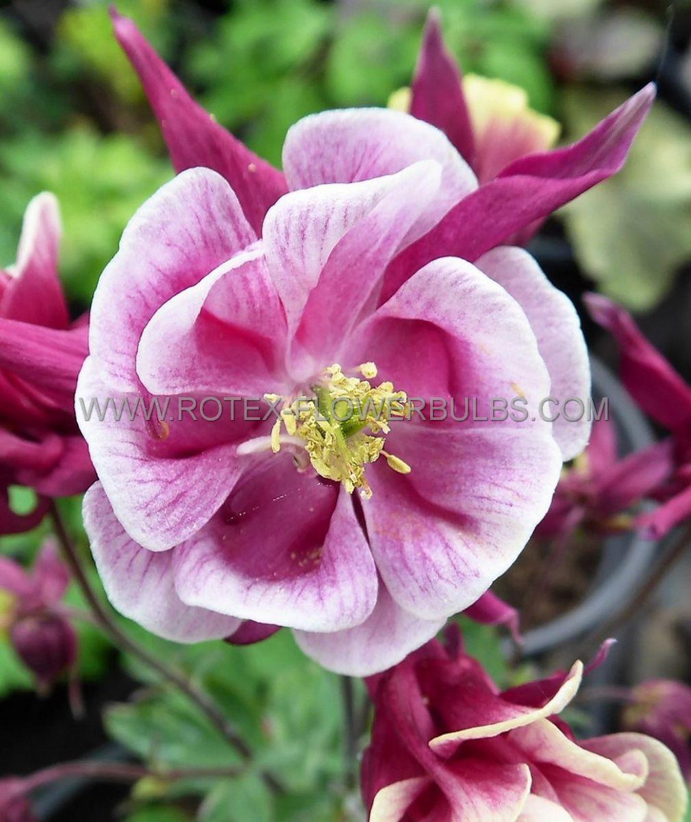 aquilegia columbine vulgaris winky double rose white i 25 pbag