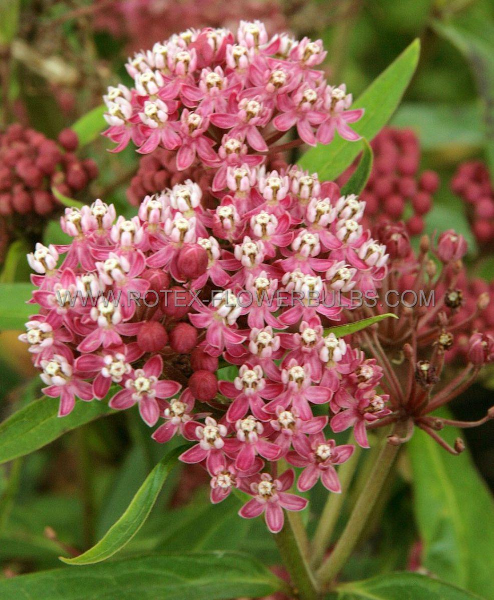 asclepias butterfly weed incarnata cinderella i 25 pbag