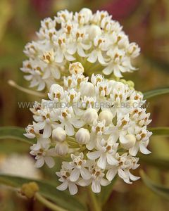 ASCLEPIAS (BUTTERFLY WEED) INCARNATA 'ICEBERG' I (25 P.BAG)