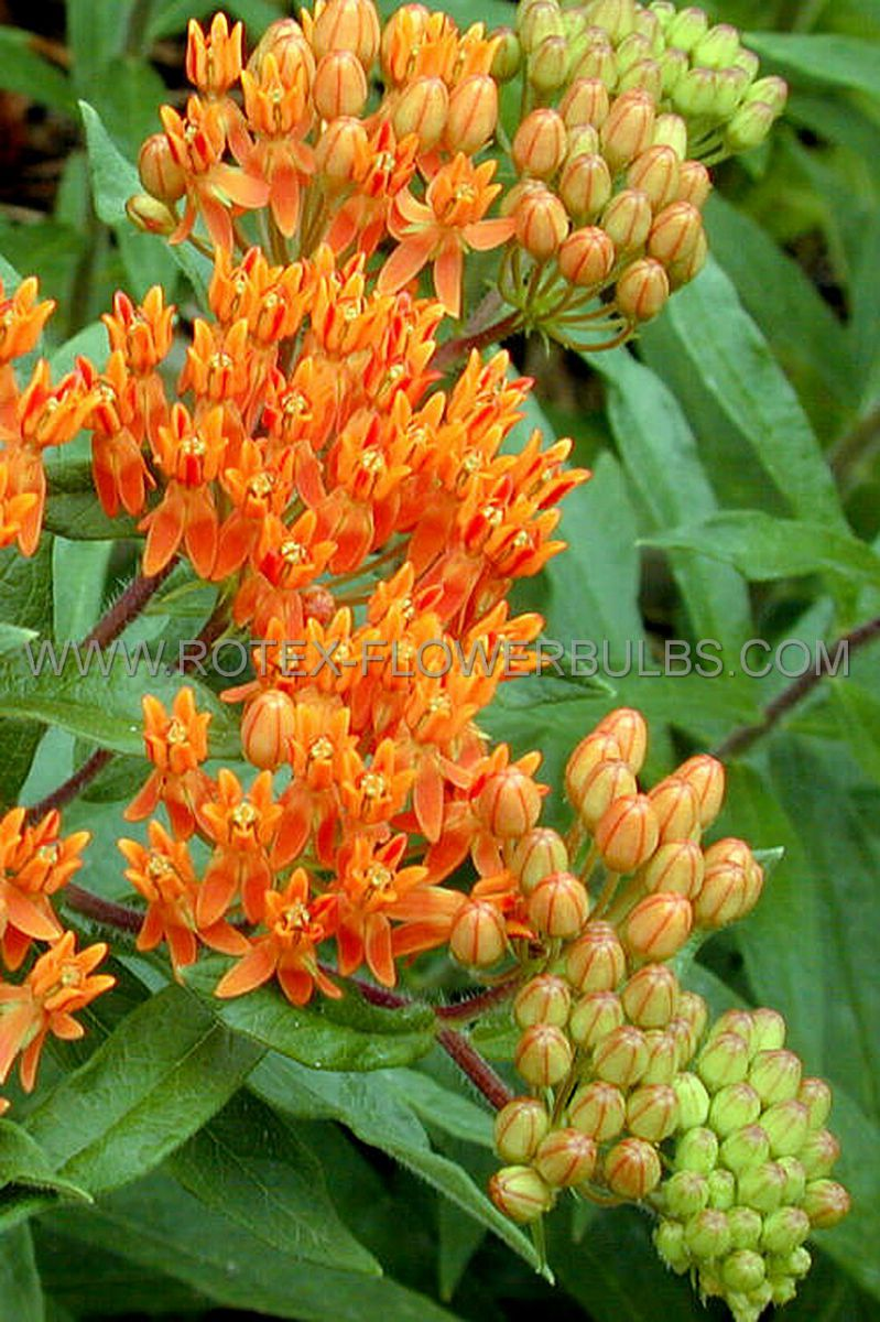 asclepias butterfly weed tuberosa i 25 pbag