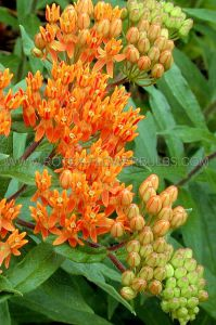 ASCLEPIAS (BUTTERFLY WEED) TUBEROSA I (25 P.BAG)
