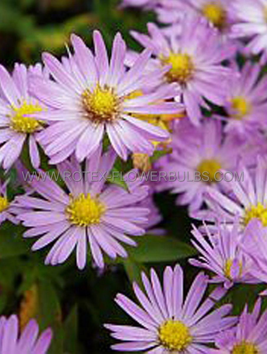 aster michaelmas daisy dumosus anneke i 25 pbag