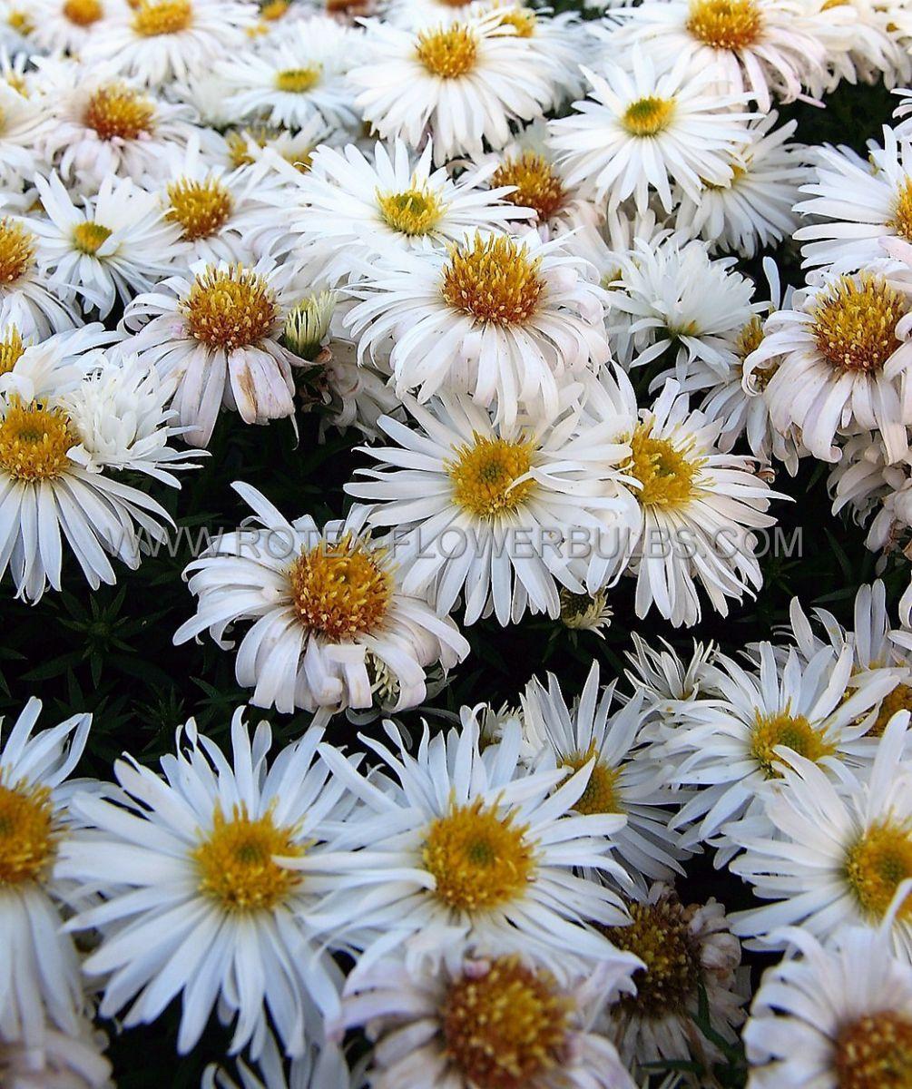 aster michaelmas daisy dumosus kristina i 25 pbag