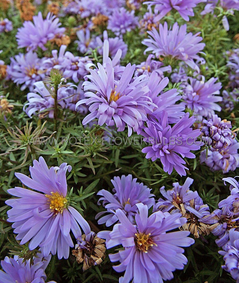 aster michaelmas daisy dumosus lady in blue i 25 pbag