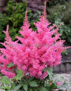 ASTILBE ARENDSII 'AMETHYST' 2/3 EYE (25 P.OPEN TOP BOX)