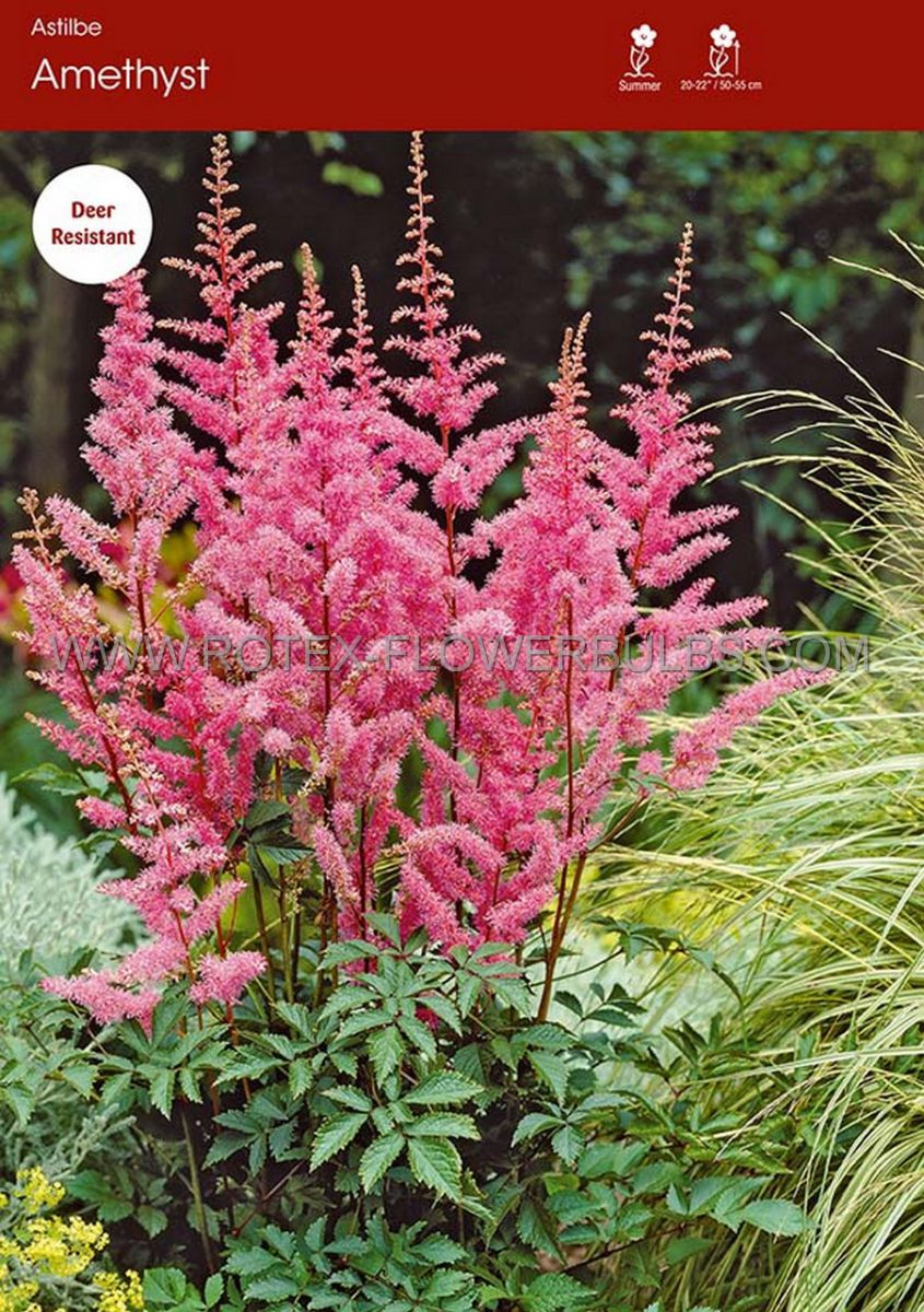 astilbe arendsii amethyst 23 eye 25 popen top box