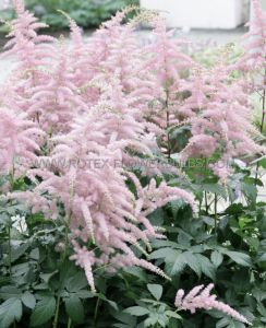 ASTILBE ARENDSII 'BRESSINGHAM BEAUTY' 2/3 EYE (25 P.BAG)