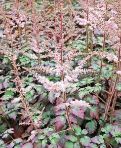 ASTILBE ARENDSII 'COLOR FLASH' 2/3 EYE (25 P.BAG)