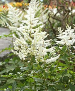 ASTILBE ARENDSII 'DIAMANT' 2/3 EYE (25 P.BAG)
