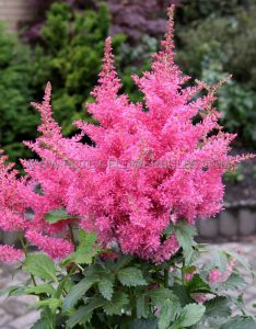 ASTILBE ARENDSII 'DRUM AND BASS' 2/3 EYE (25 P.BAG)