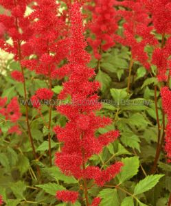 ASTILBE ARENDSII 'FANAL' 2/3 EYE (25 P.OPEN TOP BOX)