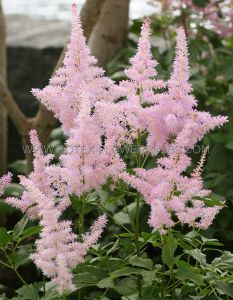 ASTILBE ARENDSII 'FLAMINGO' 2/3 EYE (25 P.BAG)