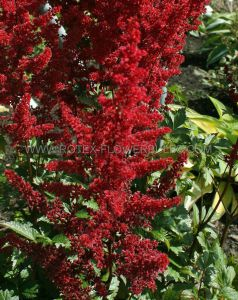 ASTILBE ARENDSII 'GLOW' 2/3 EYE (25 P.BAG)
