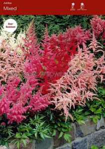 ASTILBE ARENDSII 'MIX' 2/3 EYE (25 P.OPEN TOP BOX)