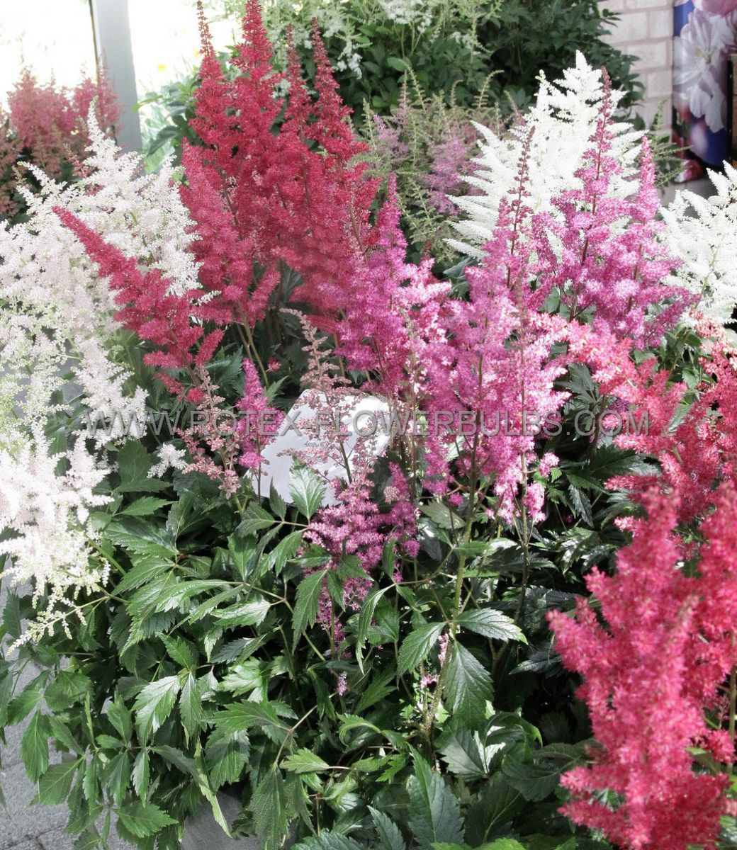 astilbe arendsii mix 23 eye 25 popen top box