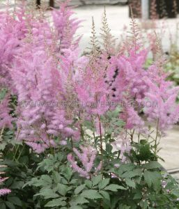 ASTILBE ARENDSII 'RHEINLAND' 2/3 EYE (25 P.OPEN TOP BOX)
