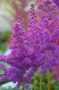 ASTILBE CHINENSIS 'BLACK PEARLS' 2/3 EYE (25 P.BAG)