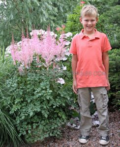 ASTILBE CHINENSIS 'MIGHTY PIP' 2/3 EYE (25 P.BAG)