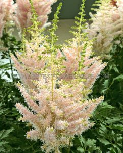 ASTILBE CHINENSIS 'MILK AND HONEY' 2/3 EYE (25 P.BAG)