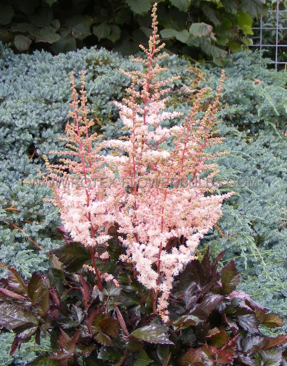 astilbe chinensis spotlight 23 eye 25 pbag