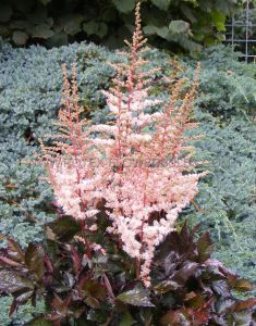 ASTILBE CHINENSIS 'SPOTLIGHT' 2/3 EYE (25 P.BAG)