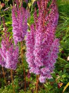 ASTILBE CHINENSIS 'SUPERBA' VAR. (25 P.BAG)