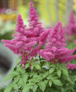 ASTILBE CHINENSIS 'VISIONS IN PINK' ® 2/3 EYE (25 P.BAG)