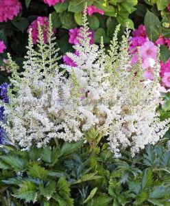 ASTILBE CHINENSIS 'VISIONS IN WHITE' ® 2/3 EYE (25 P.BAG)